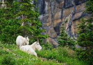Mountain Goats on Glacier National Park